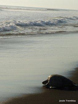 Ostional Wildlife National Refuge - Observations des tortues Olive Ridley