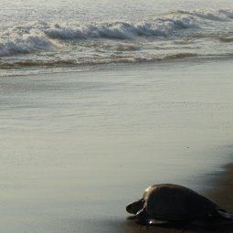 Ostional Wildlife National Refuge - Observations des tortues Olive Ridley
